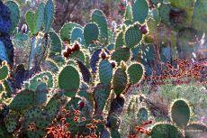 SoCal Cacti