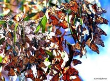 Annual Monarch gathering in Pismo Beach