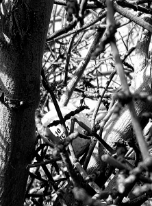 Golf in tree b&w