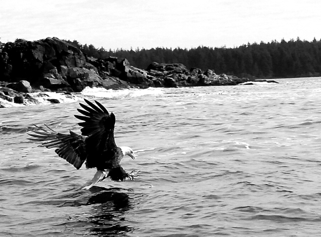 Eagle diving b&w