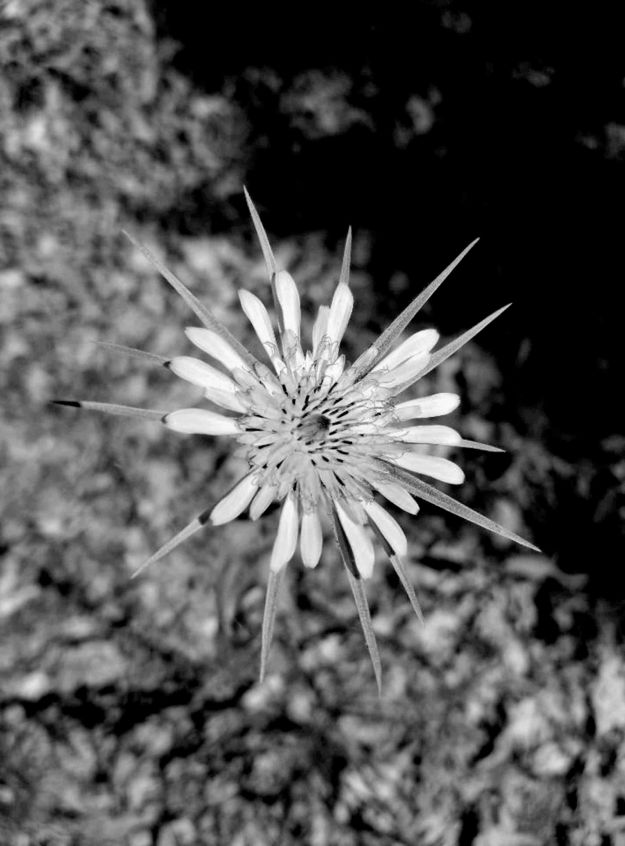 Flower bw small